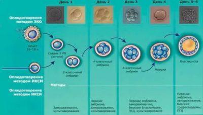 Как оплодотворяется яйцеклетка при эко