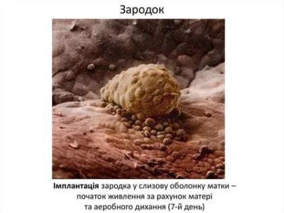 Когда эмбрион прикрепляется к матке