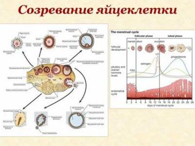 Как Неоплодотворенная яйцеклетка выходит из организма