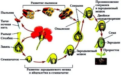 Что такое оплодотворение у цветка