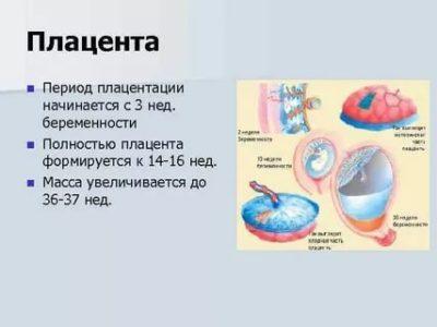 На каком сроке беременности формируется плацента