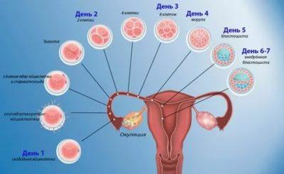 Как долго происходит оплодотворение яйцеклетки